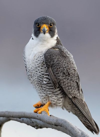 Peregrine falcon Falcon Peregrine Falcon Animal Themes Animal Bird Vertebrate Animals In The Wild Animal Wildlife Bird Of Prey Outdoors Tree Portrait Snow Focus On Foreground No People Nature Winter Beauty In Nature One Animal Close-up Perching Day