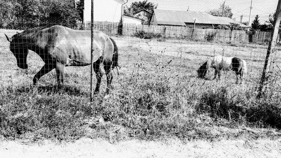 Rural Scene Horse And Pony Grazing Horse And Poney Eating Grass Black And White Photo Black & White Horse & Poney Horse & Poney Poney And Horse Poney & Horse Ionita Veronica Wolfzuachiv Veronica Ionita Blackandwhite Black And White Black & White Black And White Photography Horse Poney Pônei Cal Horse And Poney Grazing Eating Grass Outdoors Day No People Shadow Nature Animal Themes Close-up Mammal