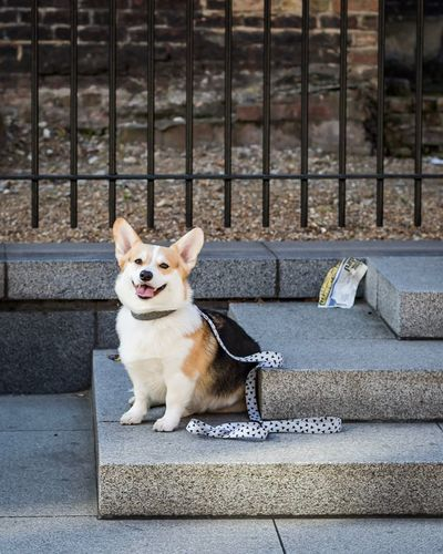 EyeEm Selects Corgi Pets One Animal Dog Animal Themes Domestic Animals Steps Staircase Mammal Steps And Staircases No People Sitting Day Outdoors Protruding Portrait