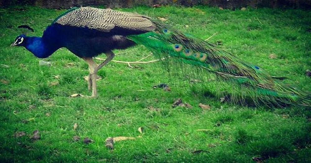 Peacock Blueandgreen Bird Peafowl Haumoanazoo Farmyard Farmyardzoo Bbft_lovelybirds Birds_bees_flowers_n_trees Fyp_feathers 9vaga_letterp9 9Vaga_ColorGreen9 Ss_green_04