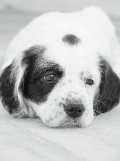 Eva. Puppy Puppy Love Puppy Eyes Cute Puppy B&W Portrait B&w Puppy Pet Portrait Puppy Face Pet Portraits