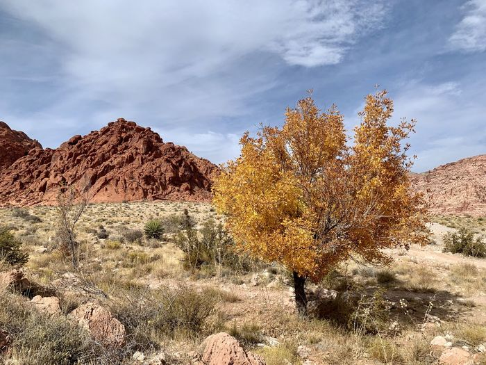 Plants growing on land against sky during autumn.  red rock canyon, nevada