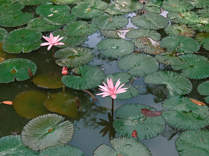 lotus Leaf Plant Part Water Lake Plant Reflection Floating Flowering Plant Floating On Water Flower Green Color Beauty In Nature This Is Strength Autumn Mood
