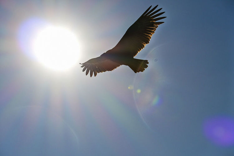 Low angle view of bird flying against sky during sunny day