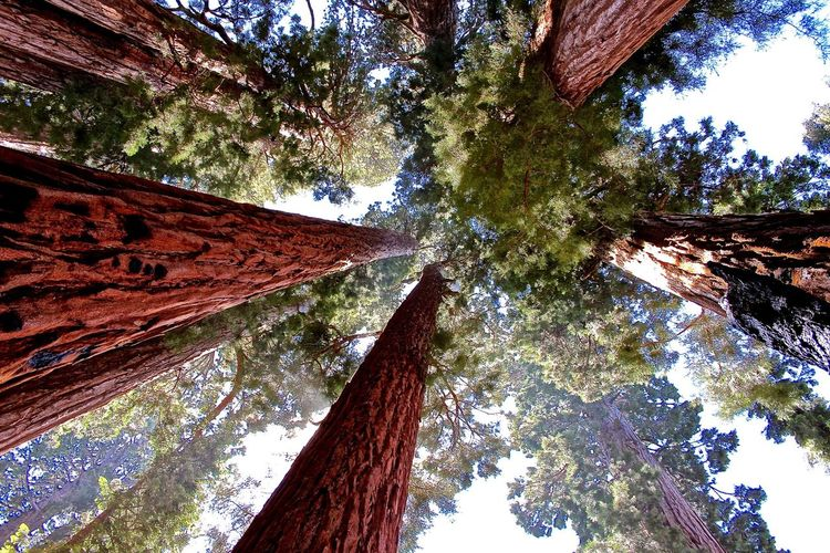 Bäume Redwood Trees Redwood California Redwoods Redwoods Trees California Giant Sequoia Nature RePicture Growth My Best Photo 2015