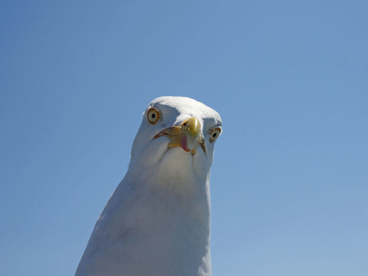 Focused Animal Head  Animal Wildlife Animals In The Wild Bird Close-up Direct Focused Focused Thoughts Locking At Camera One Animal Seagull View
