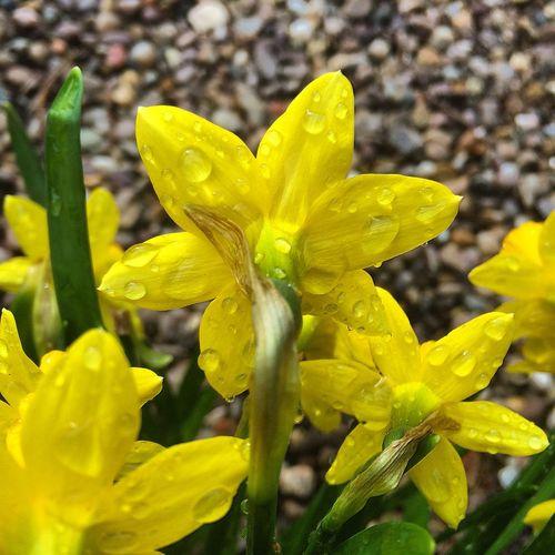 Raindrops on daffodils 🌱☔️☀️ Water Rain The Great Outdoors Spring Flowers Flower Bulbs Macro