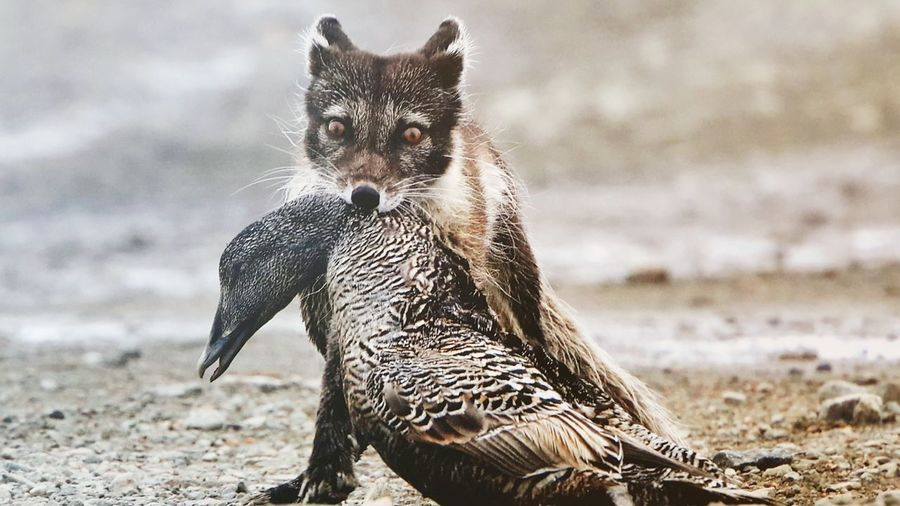 Coyote Holding Dead Bird In Mouth