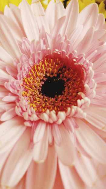 Flower Pink Color Gerbera Daisy Flower Head Millennial Pink