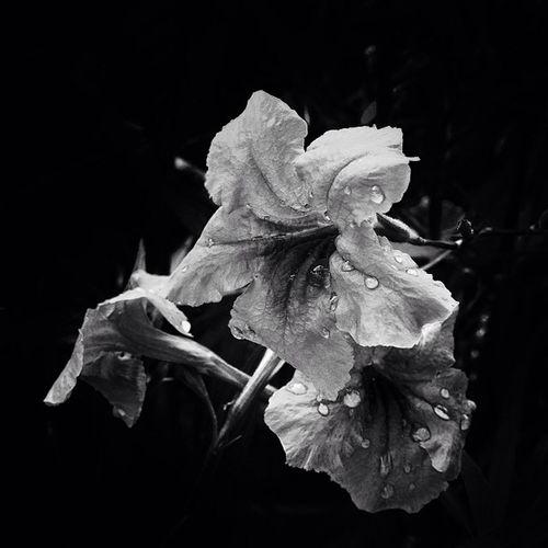 ดอกต้องติ่งฝรั่ง ชื่อสามัญ : Ruellias , wild petunias ชื่ออื่นๆ : ต้อยติ่งเทศ ,ต้อยติ่งน้ำ ลักษณะทั่วไป : ต้อยติ่งฝรั่ง เป็นไม้พุ่มเล็ก ลำต้นสูงประมาณ 50-80 เซนติเมตร ใบเดี่ยวออกเรียงตรงข้าม ใบยาวเรียวปลายแหลมโคนมน ขอบใบเรียบกว้าง 1.5-3 ซม.ยาว10-15 ซม. ดอกออกเป็นช่อๆละ 2-3ดอก รูปลำโพงแยกเป็นแฉก 5 แฉก กลีบดอกหยักย่น มีทั้งสีม่วง สีชมพู สีขาว ผลรียาวสีเขียวและเปลี่ยนเป็นสีน้ำตาลดำเมื่อแก่ ภายในผลมีเมล็ดลักษณะแบน 8-10 เมล็ด ชอบแดดจัด ขยายพันธุ์ด้วยการเพาะเมล็ด Flora Flower Flower_daily flowerstalking flowerstalking_bw wildpetunias bw bnw bw_shotz bw_crew bw_flower bwstylesgf bwt_thailand blackandwhite allshots_ jj