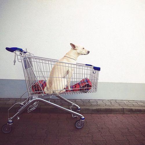 Dog In Shopping Cart