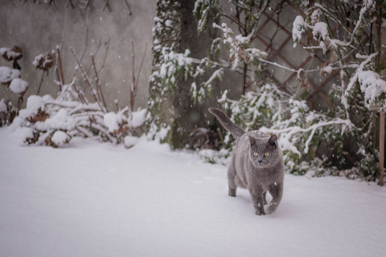 Cat walking outdoors during winter