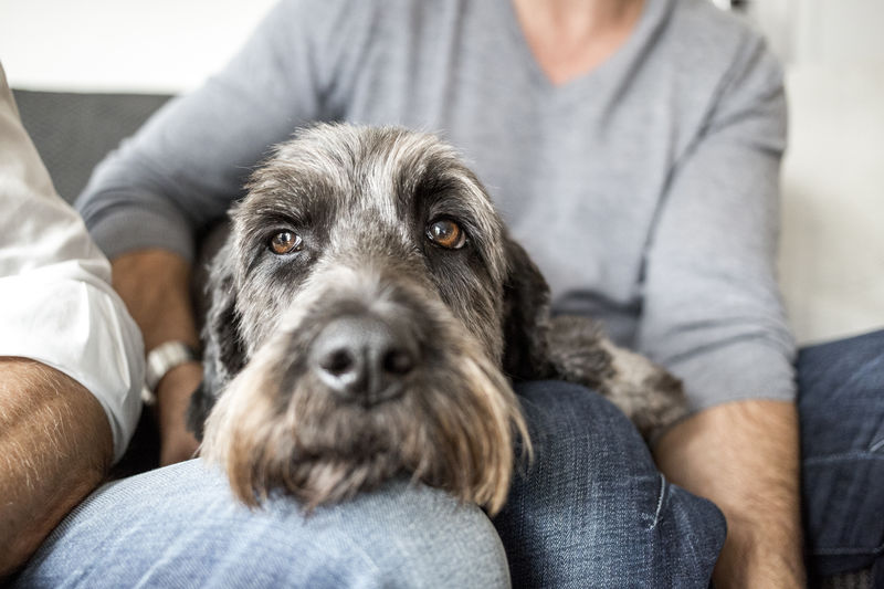 Close-up portrait of dog resting on owners' laps