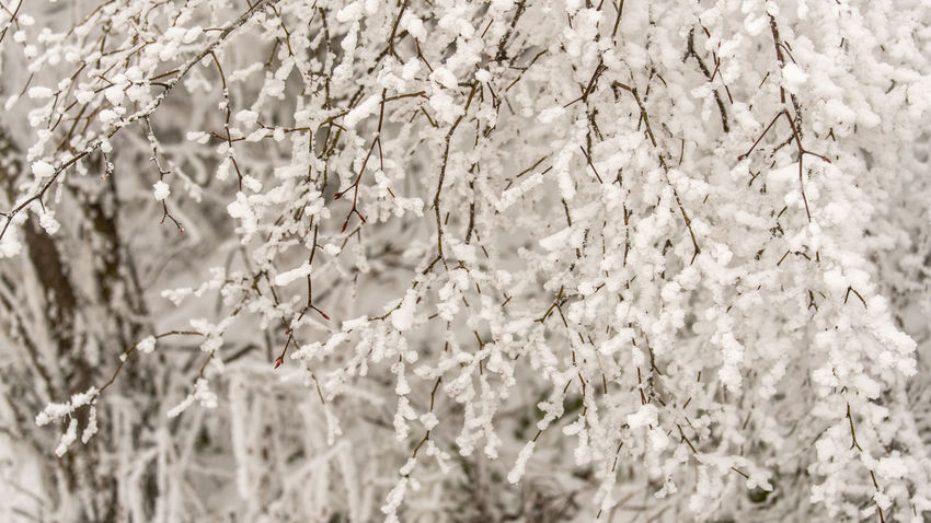 Tree of 'White Flowers' Beauty In Nature Plant Snow Nature White Color Winter Tranquility Backgrounds Tree Cold Temperature Selective Focus Fragility Flower Blossom Branches 16:9 16:9 Crop