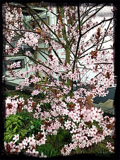 Cherry flowers. Lovely pink. Hanging Out Flower Spring Tree