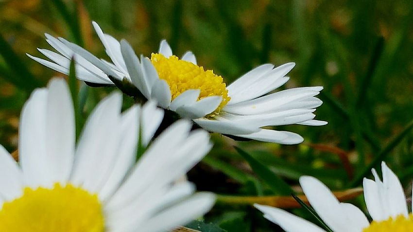 Close-up Close Up Daisies Daisy Daisies Are My Favorite Learn & Shoot: Composition Spring Has Sprung Ladyphotographerofthemonth Beliebte Fotos Popular Photos Still Life Easter Ready Grass Spring Is Coming  Easter Is Around The Corner Spring Into Spring Easter Is Coming Soon Urban Spring Fever Here Belongs To Me Flower Collection Flowers Spring Flowers Things I Like Blütenträume Blütenzauber