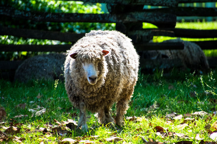 Close-up of sheep standing on field
