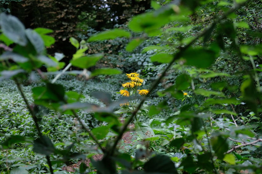 yellow wild flower in woodland scene WoodLand Woodland Scene Beauty In Nature Close-up Day Flower Flower Head Fragility Freshness Green Color Growth Nature No People Outdoors Plant Selective Focus Woodland Flowers Woodland Photography