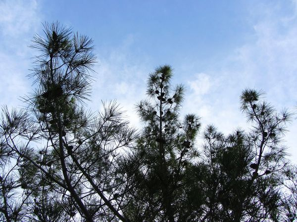 Tree Pine Tree Nature Low Angle View Sky Growth Beauty In Nature Outdoors Treetop Day Cittaslow Lefke Cyprus EyeEmNewHere Nature Photography