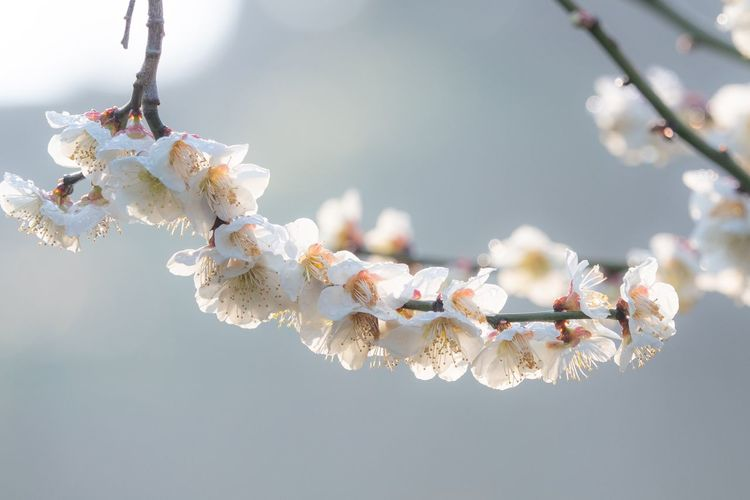 Ume 梅 EyeEm Selects No People Close-up Nature Plant Focus On Foreground Branch Beauty In Nature Flowering Plant Flower White Color