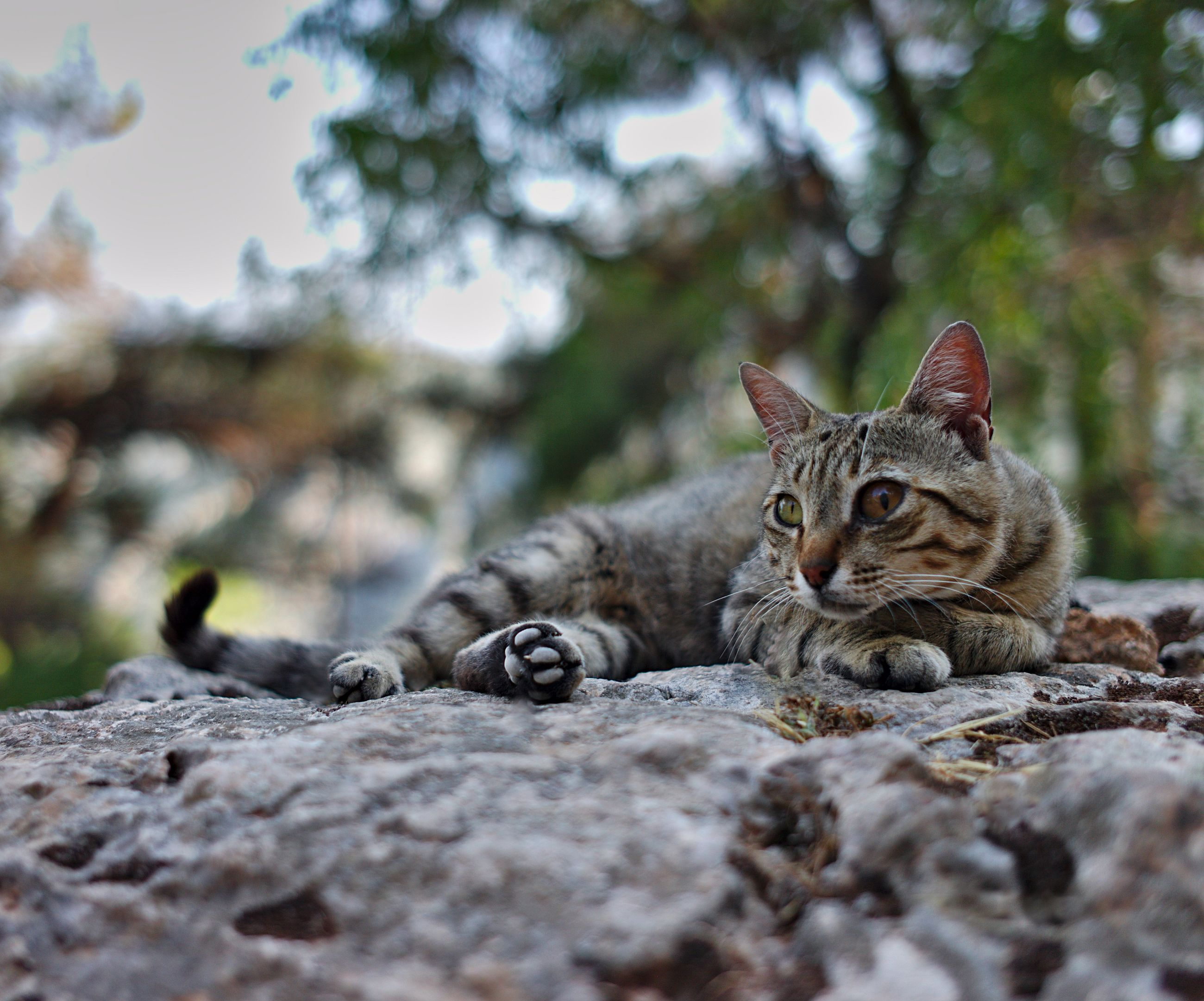 one animal, animal themes, domestic animals, pets, selective focus, domestic cat, mammal, cat, surface level, looking at camera, zoology, relaxation, feline, animal head, resting, animal, day, no people