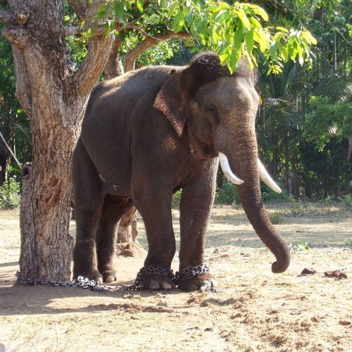 Sakkarebayalu , Karnataka , Elephant , Indianelephant , Cute , India , Incredible_india , Naturelover , Nature .