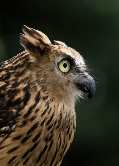 Closeup side of a buffy fish owl