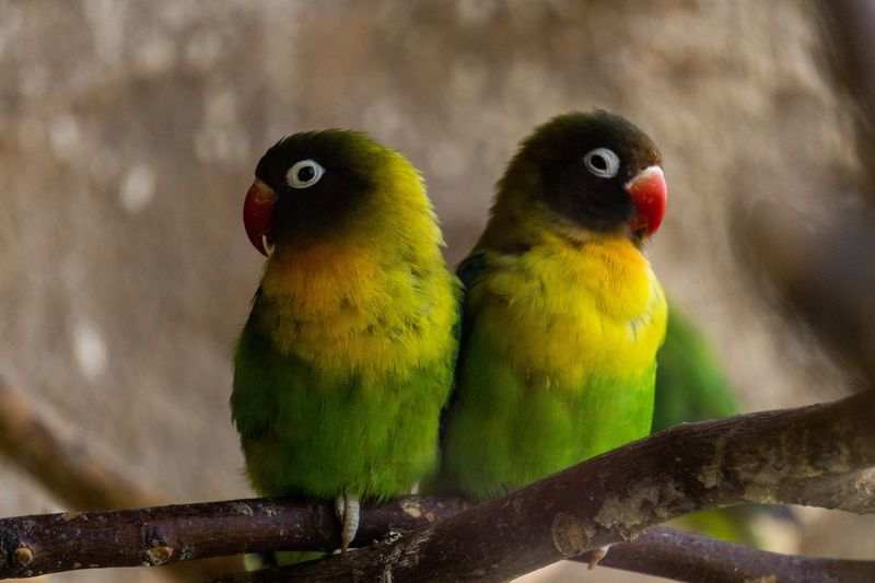 Sisters Sony A6000 Sony Portrait Animal Portrait Animal Themes Close-up Birds Of EyeEm  Birds Bird Animal Themes Vertebrate Animal Group Of Animals Parrot Two Animals Focus On Foreground Animal Wildlife Animals In The Wild Perching Close-up Yellow Nature No People Day Multi Colored Togetherness Green Color Outdoors