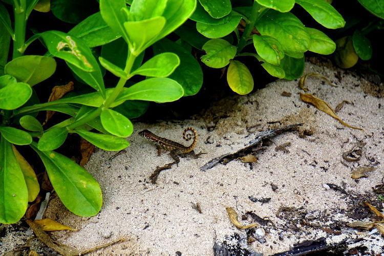Lizard Animal Themes Animals In The Wild Grand Cayman Growth Leaf One Animal Outdoors Plant Reptile Wildlife