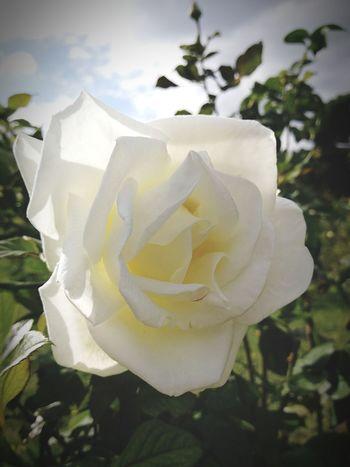 White Flower Plant Rose - Flower No People Freshness Flower Head Petal Fragility Pollination Odour Springtime Roses🌹 Delicate Parfume Preciuos Blooming