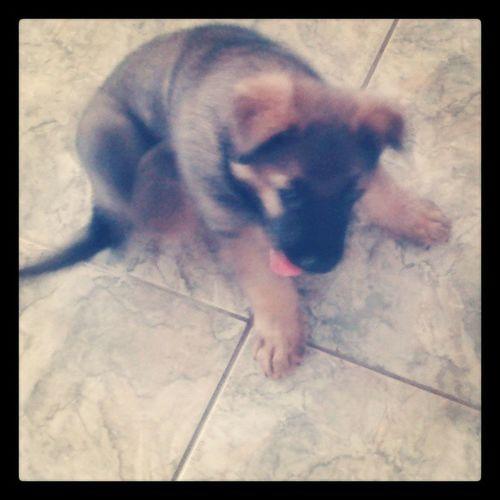 Novo integrante da familia Dog Baby 1mês Bebe pastoralemao cute franch