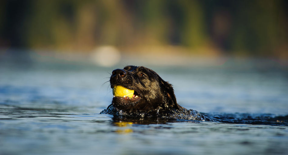 Black labrador retriever carrying ball in mouth at lake