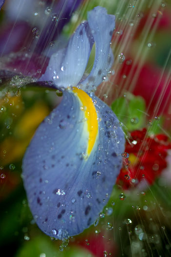 Beautiful blue flower in heavy rain in Seattle. Seattle, Washington Heavy Rain Seattle Rain Seattle's Best Beauty In Nature Blue Flower Close-up Day Drop Flood Flower Flower Head Fragility Freshness Growth Nature No People Outdoors Plant Pounding Rain Purity RainDrop Water Wet
