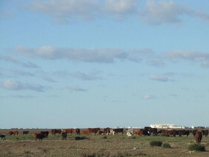 Blue Blue Sky Blue Sky And Clouds Countryside Cows Cows In Grassland Domestic Cattle Field Grass Grassland Grassland Under Sunlight Grassy Herd La Algaida Landscape Pinar De La Colonia Monte Algaida Rural Scene Tranquility