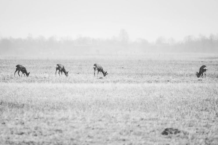 Deer Wildlife & Nature Wildlife Photography Winter Wildlife Wildlife & Nature Roe Deer Lithuania Lithuania Nature Deer EyeEm Selects Grass Sky Landscape Group Of Animals Herd Grazing
