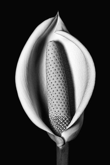 Black Background Black Color Flower Flowering Plant Single Object Still Life