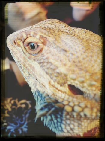 Sunny my bearded dragon. X x