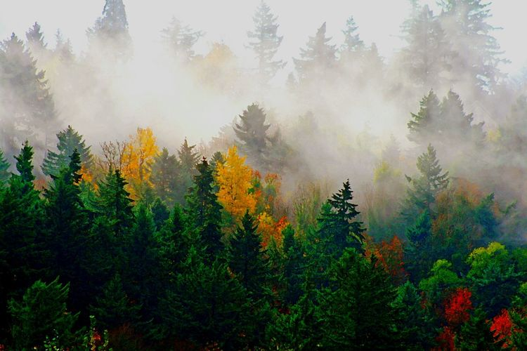 The Morning Mist Tree Fog Forest Multi Colored Dawn Autumn Pine Tree Sunlight Rural Scene Pinaceae Pine Woodland