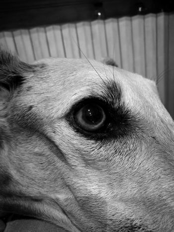 First Eyeem Photo Black&white Photography Greyhound Eye Spanish Galgo Galgo Levrier Mirror Of The Soul EyeEm PH. by HUAWEI P9
