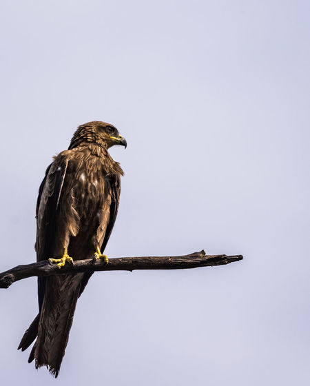 Low angle view of eagle perching against clear sky