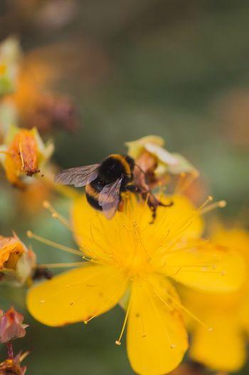 Yellow Flowers Bumblebee Nature Macro