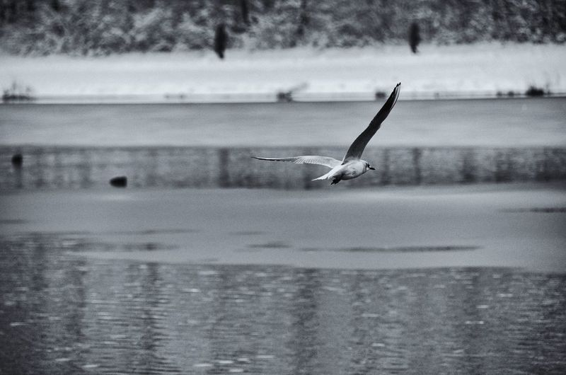 Close-up of seagull flying over lake against sky