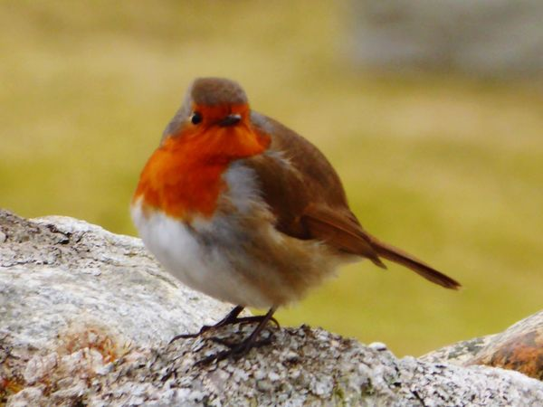 Birds Of EyeEm  Robin Redbreast Robin Scotland One Animal Animals In The Wild Animal Themes Bird Animal Wildlife Perching Focus On Foreground Nature No People Close-up Day Robin Outdoors