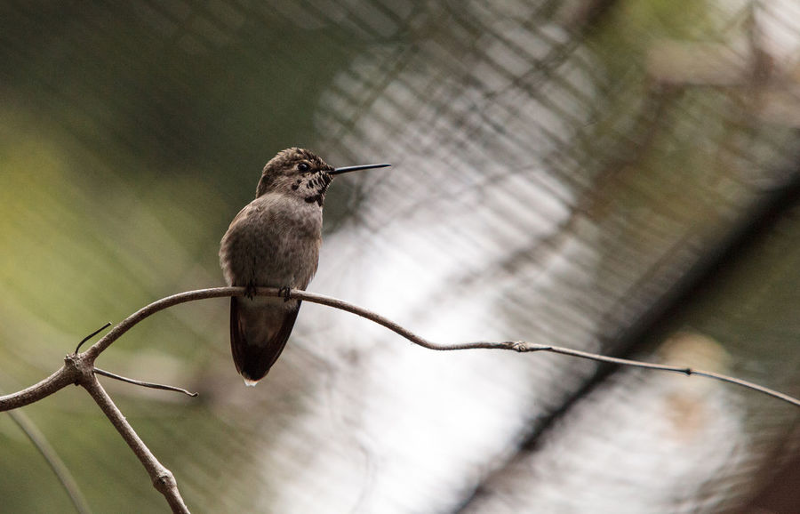 Annas Hummingbird, Calypte anna, nectars on a flower in a botanical garden in spring. Animal Themes Animals In The Wild Annas Hummingbird Avian Bird Calypte Anna Day Feather  Flower Garden Hummingbird Nature No People One Animal Outdoors Wings