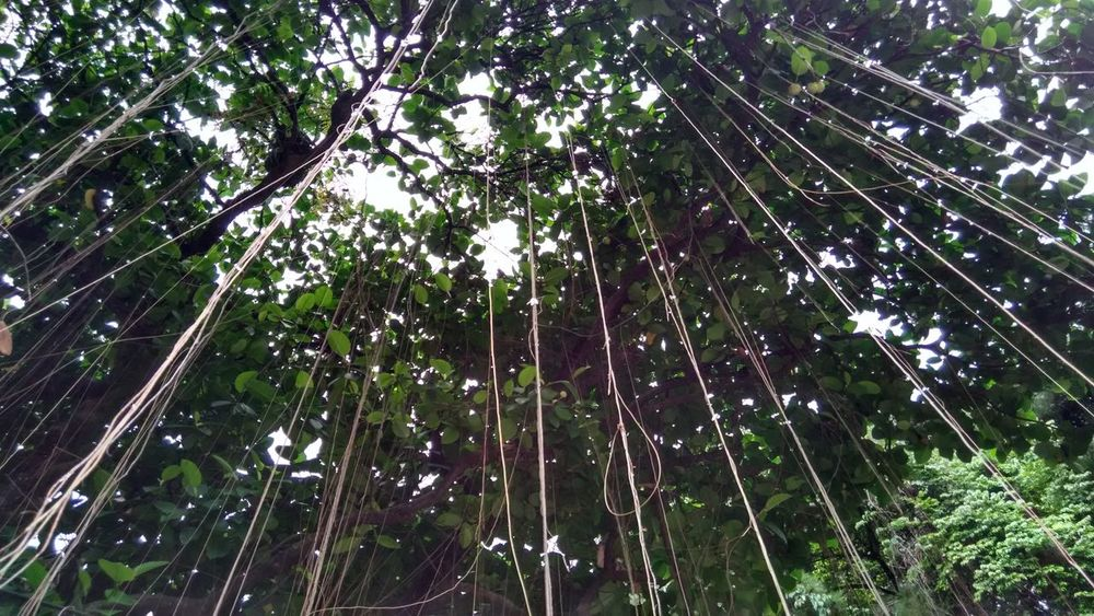 Tree Low Angle View Growth Nature Beauty In Nature No People Tranquility Outdoors Full Frame Green Color Forest Branch Sky Day Bamboo Grove Backgrounds Bamboo - Plant Buitenzorg Kebon Raya Bogor Bogor, Indonesia Hanging Tree Roots