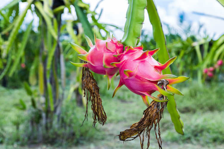Dragon fruit is