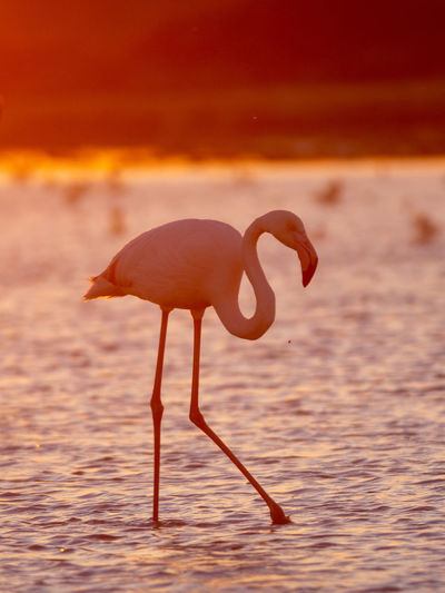 Animals In The Wild One Animal Nature Flamingo Orange Color Sunset Bird Animal Wildlife Side View Camargue Silhouette Lake Animal Themes Animal Water Beauty In Nature Idyllic Nature Reserve Scenics