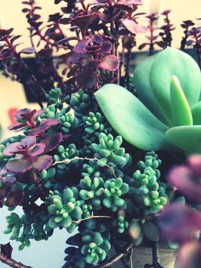 Succulents 多肉 パープルヘイズ 大型姫星美人 ブードゥ 白鳳