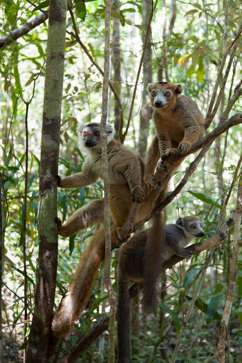The crowned lemur is endemicMadagascar. Seen at Akanin 'ny Nofy. Males have a darker reddish brown body, crowned with black and orange and the females are gray with an orange crown. Here are group of females. Madagascar  Crowned Lemur Eulemur Coronatus Endangered Species Madagascar Lemur Akanin 'ny Nofy Wild Animals Lemur Climbing Animal Themes