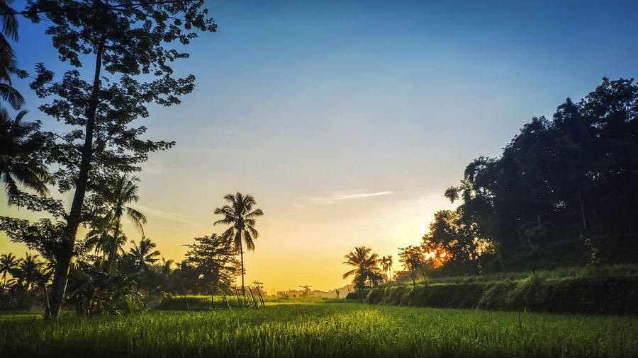 rice field at